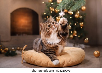 Tabby and happy cat. Christmas season 2017, new year, holidays and celebration He plays with a Christmas toy