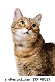 Tabby home adult cat looks up Isolated. Pet, animal