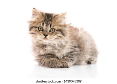 Tabby  kitten cat lying and looking on white background,isolated