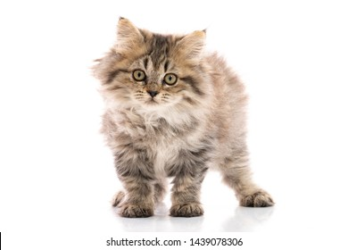 Tabby kitten cat standing and looking on white background,isolated