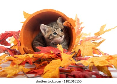 Tabby kitten hiding in orange bucket with fall leaves on white background