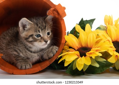 Tabby kitten hiding in orange bucket with yellow floers on white background