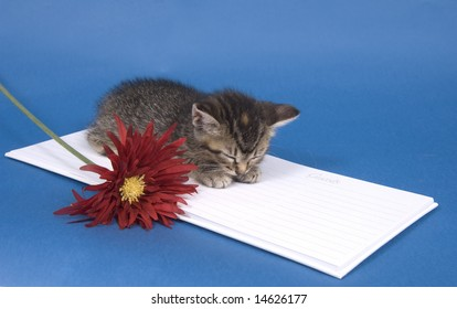 A tabby kitten lays down for a rest on a white wedding guest book next to a flower on a blue background. One in a series.