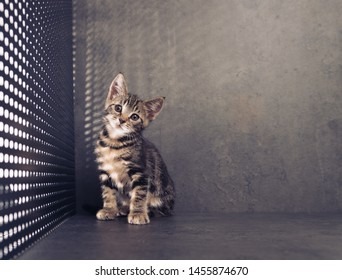 Tabby Kitten on Dark Background