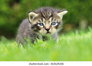 Tabby kitten on lawn