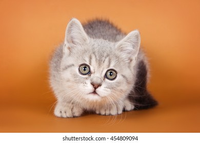 Tabby kitten on an orange background