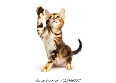 tabby kitten its paw