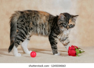 Tabby Kitten playing with ball and rose in house.