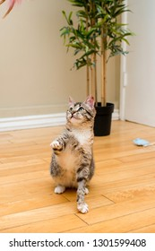 Tabby Kitten Playing with Toy