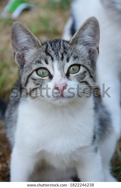 tabby-kitten-portrait-outdoor-feral-600w