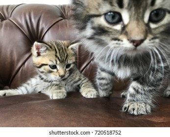 Tabby kitten sitting on a brown leather sofa