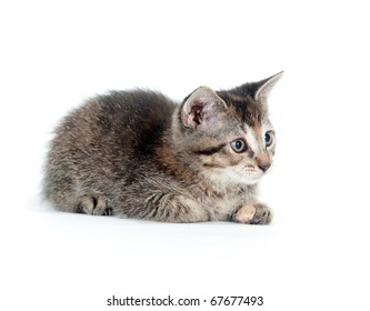 Tabby kitten sitting up and playing on white background
