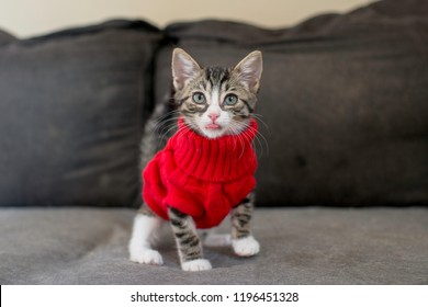 tabby kitten wearing red sweater