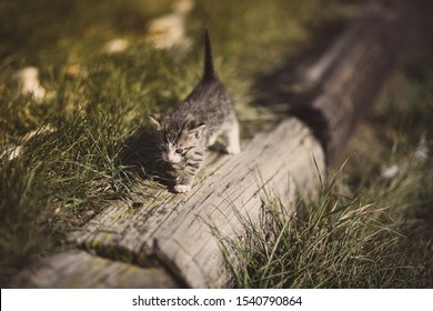 Tabby kitten with white face walking across an old wooden plank beside tall green grass shot outside on a deck on a farm with the sun shining through showing the cats shadow