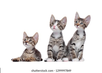 Tabby kittens against white background looking to the copy space area