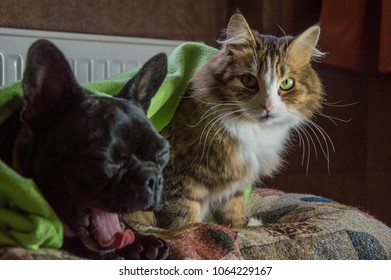 tabby, long hair domestic cat and black, active dog, playing together. inquisitive, cheerful puppy of French bulldog and brown, striped siberian cat have friendship. young friends have fun on couch