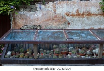 Tabby lying on the cactuses