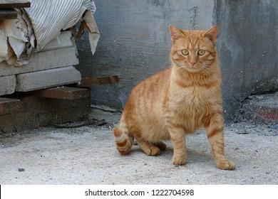 Tabby Orange Ginger Red Cat Tomcat