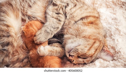 Tabby red kitten with mother