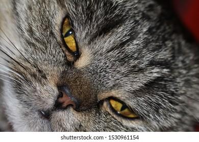 tabby scottish cat strayt closeup