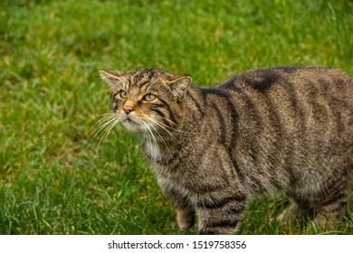 Tabby Scottish wild cat with bushy tail