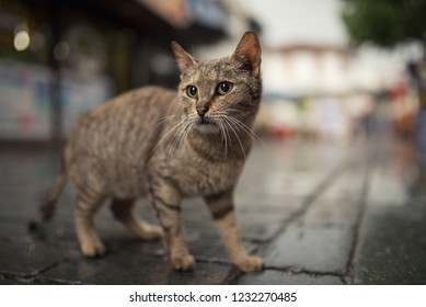 5f77dc871b tabby stray cat in pedestrain zone - turkish stray cat standing in the old  town of