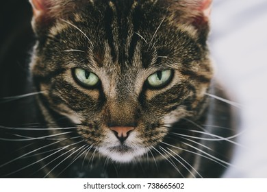 tabby tort cat with close up of facial features and green eyes