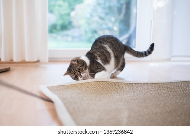 tabby white british shorthair cat searching for cat's tyo under the sisal carpet