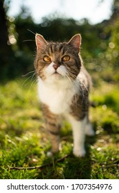 tabby white british shorthair cat standing outdoors in nature looking up at camera in sunlight