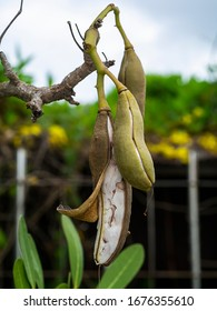 Tabebuia aurea seeds on tree branches in the garden.