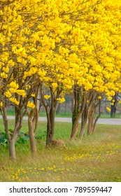 Tabebuia chrysotricha yellow flowers