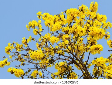 Tabebuia chrysotricha yellow flowers blossom in spring day on blue sky background