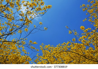 Tabebuia chrysotricha yellow or Golden Trumpet flowers blossom in spring day on blue sky background