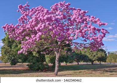 Tabebuia Impetiginosa (Taheebo, Lapacho, Bow Wood, Ipe Roxa, and Purple Trumpet Tree) - Brasilia - Brazil