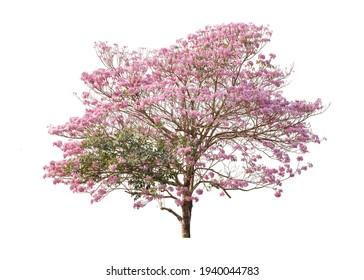 Tabebuia rosea blossom tree on white background.