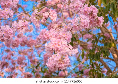 Pink trumpet trees images stock photos vectors shutterstock tabebuia rosea is a pink flower neotropical tree common name pink trumpet tree pink mightylinksfo