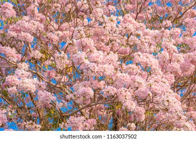 Pink trumpet flower images stock photos vectors shutterstock tabebuia rosea is a pink flower neotropical tree common name pink trumpet tree pink mightylinksfo