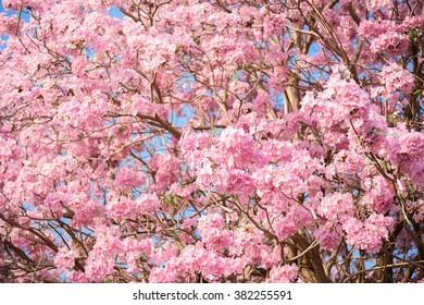 Tabebuia rosea pink flower neotropical tree stock photo edit now tabebuia rosea is a pink flower neotropical tree common name pink trumpet tree pink mightylinksfo