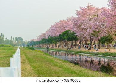 Tabebuia rosea is a Pink Flower neotropical tree. common name Pink trumpet tree, Pink poui, Pink tecoma, Rosy trumpet tree, Basant rani in Nakhon Pathom, Kamphaeng Saen, Thailand on February 22, 2016