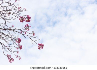 Tabebuia rosea pink flower tree and blue sky background