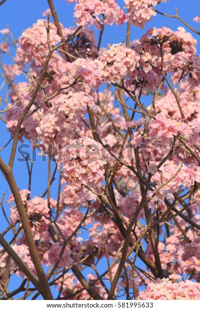Tabebuia rosea pink flowers bloom beautifully photographed apparently blurred.