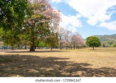 The Tabebuia rosea or pink poui tree in the Queen's Park Savannah in Trinidad