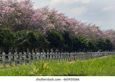 Tabebuia rosea Pink trumpet trees