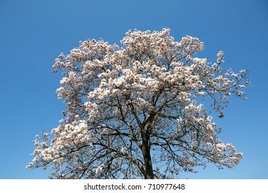 Tabebuia roseo-alba, known as white ipe, ipe-branco or lapacho blanco, is a tree native to Cerrado and Pantanal vegetation in Brazil,