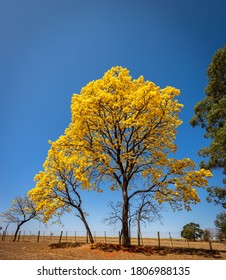 "Tabebuia tree in bloom by the side of the road. In Brazil known as ""yellow ipe"" - Another name known as golden tree"