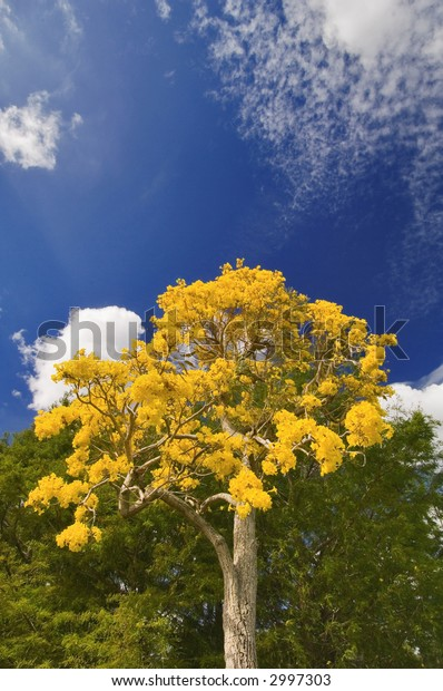 Tabebuia tree blooms in yellow in spring in Florida