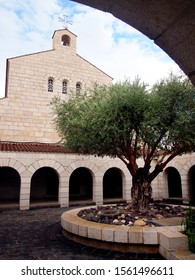 Tabgha / Israel - 10/16/2012: Large olive tree in the yard of the roman catholic church of the Multiplication of the loaves and fish.