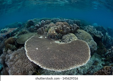 A table coral (Acropora sp.) grows on a healthy, diverse coral reef in the Pacific Coral Triangle, the most diverse area for marine species on Earth.