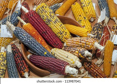 table full of corn cobs different colors and varieties of species