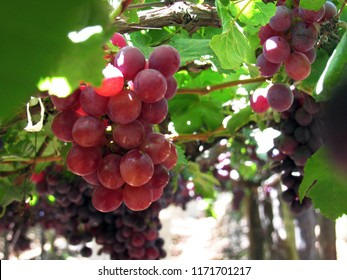 table grapes details branch red globe sweet celebration grapevine